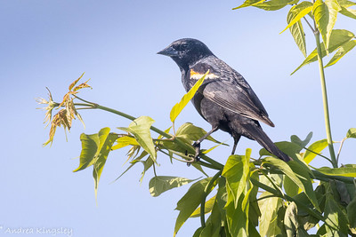 Red-winged Blackbird , in Area 2 (Photo by Andrea Kingsley)