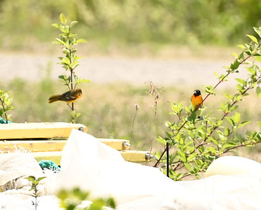 Baltimore Oriole pair near powerhouse , in Area 1 (Photo by Gerry McKenna)