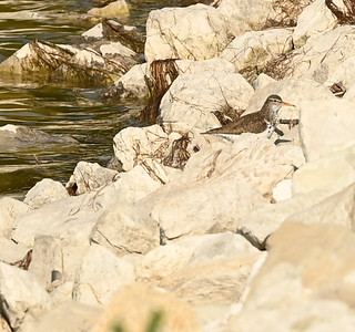 Spotted Sandpiper in Sewage Lagoons , in Area 1 (Photo by Gerry McKenna)