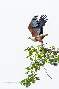 The African Fish Eagle (Haliaeetus vocifer) is a large species of eagle that is found throughout sub-Saharan Africa wherever large bodies of open water occur that have an abundant food supply. Lekoli river Odzala-Kokoua National Park, Mboko concession, Department of Cuvette-Quest, Republic of Congo.