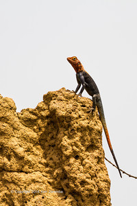 An AgamaLizard also called a dragon lizard.  Near the Odzala Wilderness Lango camp, Odzala-Kokoua National Park, Mboko concession, Republic of Congo, Department of Cuvette-Quest.