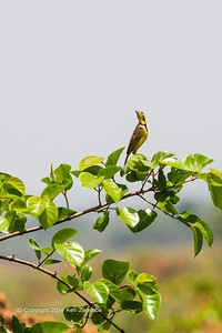 The Yellow-throated Longclaw (Macronyx croceus) is a species of bird in the Motacillidae family. Its natural habitats are dry savanna, subtropical or tropical seasonally wet or flooded lowland grassland, and sandy shores. Savannah area near Wilderness Lango camp, Odzala-Kokoua National Park, Mboko concession, Department of Cuvette-Quest, Republic of Congo.