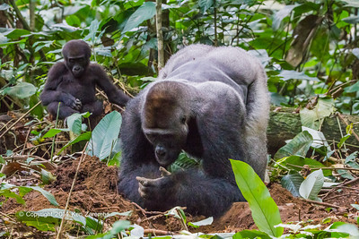 Dominant Silverback Neptuno and young Western Lowland Gorillas ( Gorilla gorilla gorilla ) of the Neptuno Group in the jungle Marantaceae forests of the Republic of Congo , Ndzehi Concession Department of Cuvette-Quest.