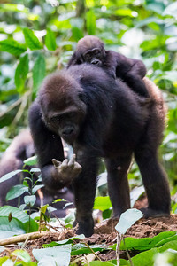 This is what I think about you people being here!!!  Mother with attitude and baby Western Lowland Gorillas  (Gorilla gorilla gorilla) of the Neptuno Group in the jungle Marantaceae forests of the Republic of Congo , Ndzehi Concession Department of Cuvette-Quest.