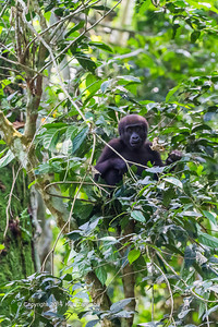 Young Western Lowland Gorilla ( Gorilla gorilla gorilla ) of the Neptuno Group in the jungle Marantaceae forests of the Republic of Congo , Ndzehi Concession Department of Cuvette-Quest.