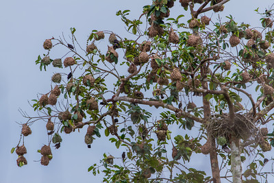 Vieillot's Black Weaver nest colony.  Republic of Congo , Ndzehi Concession Department of Cuvette-Quest.