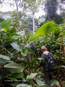 Western Lowland Gorilla trekking through thick Marantaceae jungle in Republic of Congo.  Republic of Congo , Ndzehi Concession Department of Cuvette-Quest.