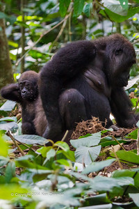 Female and baby Western Lowland Gorillas ( Gorilla gorilla gorilla ) of the Neptuno Group in the jungle Marantaceae forests of the Republic of Congo , Ndzehi Concession Department of Cuvette-Quest.
