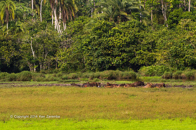 Forest Buffalo (Syncerus caffer nanus) in the Lango Bai as seen from the main deck of the Odzala Wilderness lango camp,  Odzala-Kokoua National Park, Mboko concession, Republic of Congo
