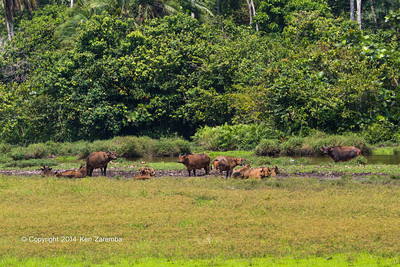 Forest Buffalo (Syncerus caffer nanus) in the Lango Bai as seen from the main deck of the Odzala Wilderness lango camp,  Odzala-Kokoua National Park, Mboko concession, Republic of Congo