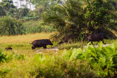 Giant Hog (Hylochoerus meinertzhageni)  in the Lango Bai as seen during a Bai walk about from the Odzala Wilderness lango camp,  Odzala-Kokoua National Park, Mboko concession, Republic of Congo