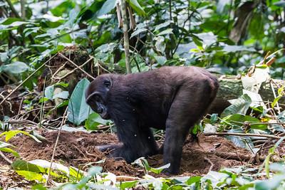 Female Western Lowland Gorilla ( Gorilla gorilla gorilla ) of the Neptuno Group in the jungle Marantaceae forests of the Republic of Congo , Ndzehi Concession Department of Cuvette-Quest.
