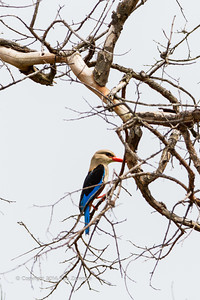 Grey-headed Kingfisher, Republic of Congo , Ndzehi Concession Department of Cuvette-Quest.