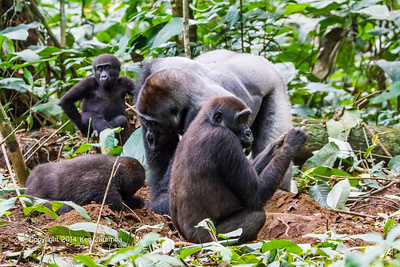 Silverback Neptuno, female and young Western Lowland Gorillas ( Gorilla gorilla gorilla ) of the Neptuno Group in the jungle Marantaceae forests of the Republic of Congo , Ndzehi Concession Department of Cuvette-Quest.