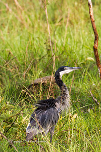 The Black-headed Heron (Ardea melanocephala) is a wading bird of the heron family Ardeidae, common throughout much of sub-Saharan Africa and Madagascar. It is mainly resident, but some west African birds move further north in the rainy season. It often feeds in shallow water, spearing fish or frogs with its long, sharp bill. It will also hunt well away from water, taking large insects, small mammals, and birds. It will wait motionless for its prey, or slowly stalk its victim. Savannah area near Wilderness Lango camp, Odzala-Kokoua National Park, Mboko concession, Department of Cuvette-Quest, Republic of Congo.