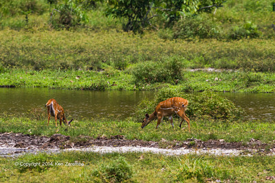 Bushbuck (Tragelaphus scriptus) in the Lango Bai as seen from the main deck of the Odzala Wilderness lango camp,  Odzala-Kokoua National Park, Mboko concession, Republic of Congo