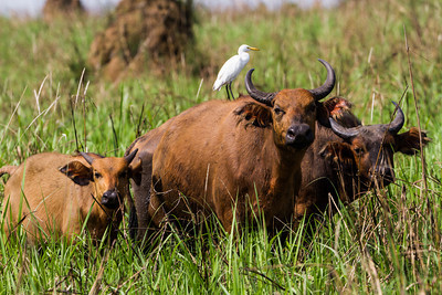African Forest Buffalo (Syncerus caffer nanus) and Cattle Egret (Bubulcus ibis). African forest buffalo  is the smallest subspecies of the African buffalo. Savannah area near Wilderness Lango camp, Odzala-Kokoua National Park, Mboko concession, Department of Cuvette-Quest, Republic of Congo.