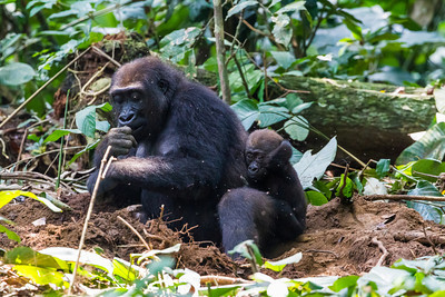 Mother and baby Western Lowland Gorillas ( Gorilla gorilla gorilla ) of the Neptuno Group in the jungle Marantaceae forests of the Republic of Congo , Ndzehi Concession Department of Cuvette-Quest.