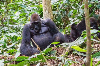 Western Lowland Gorillas ( Gorilla gorilla gorilla ) of the Neptuno Group in the jungle Marantaceae forests of the Republic of Congo , Ndzehi Concession Department of Cuvette-Quest.