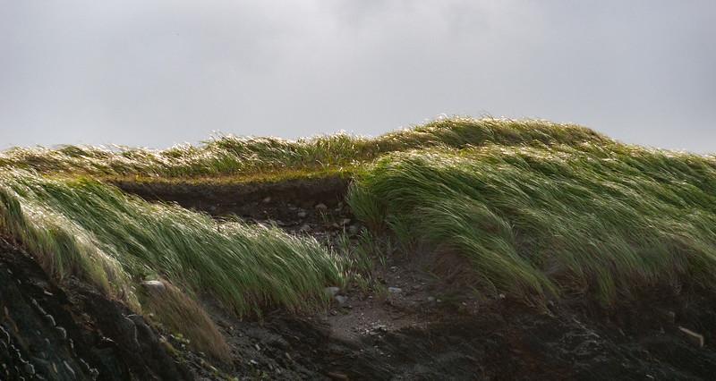 Windswept grass, Gros Morne, Newfoundland