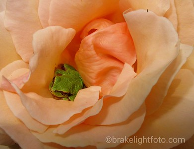 Tree Frog in Rose
