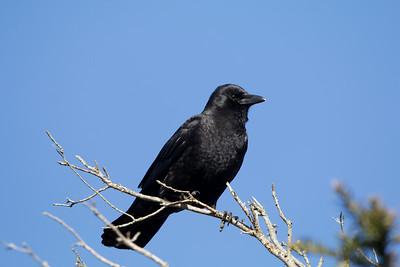 American Crow - Corvus brachyrhynchos