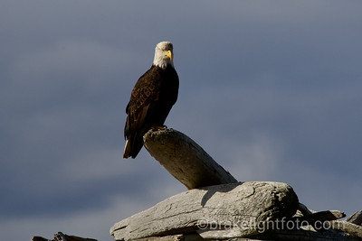 Bald Eagle on Discovery Island