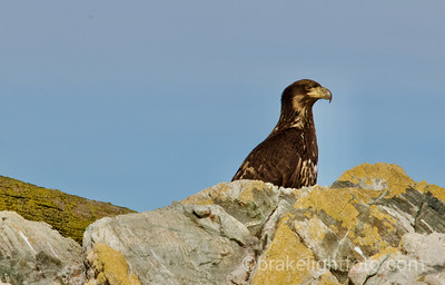 Immature Bald Eagle on the Great Chain Islets