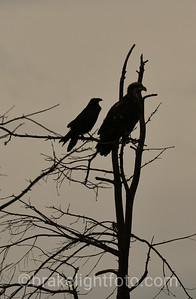 Raven & Eagle Silhouette