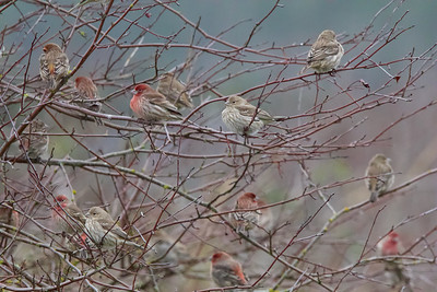 A Charm of House Finches