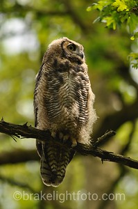 Great Horned Owl, immature