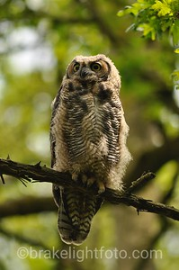 Great Horned Owl Immature