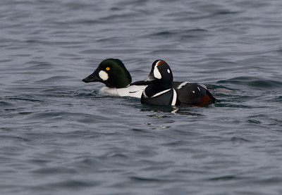 Golden Eye & Harlequin Duck