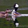 Ring-Neck Duck & Hooded Merganser