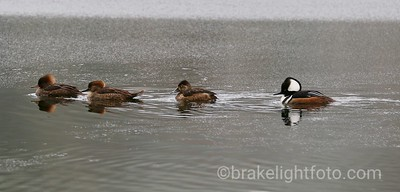 Hooded Mergansers & a Ring-Neck Duck