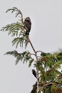Northern Flicker & Downey Woodpecker