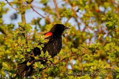 Red Winged Black Bird