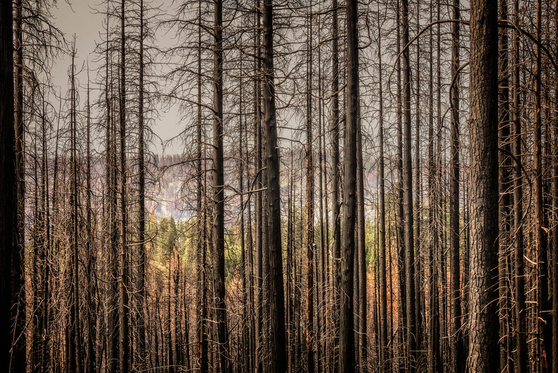 Hetch Hetchy - Trees after Fire-