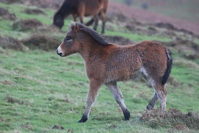 Young Exmoor pony