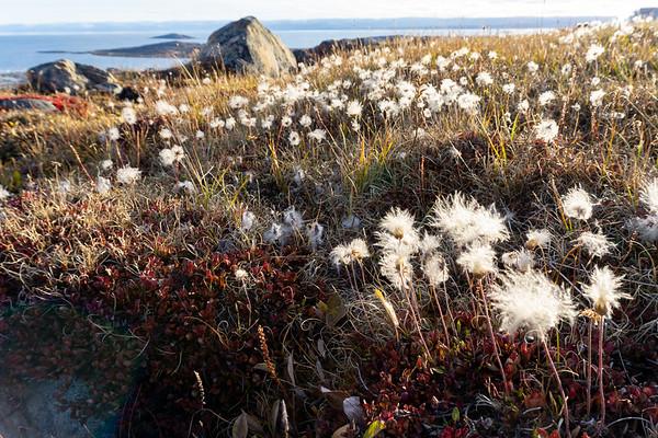 Autumn flowers, Iqaluit, Nunavut