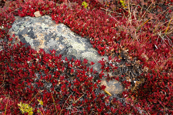 Autumn ground flowers on the tundra, Iqaluit, Nunavut