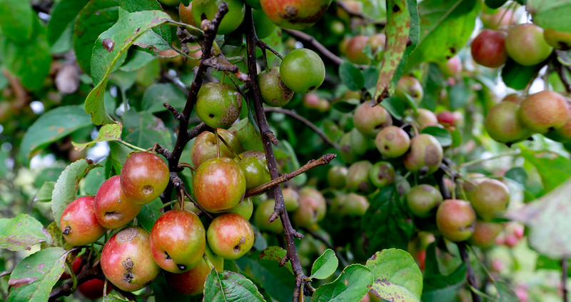 Crab apples, Barrington, Rhode Island, US