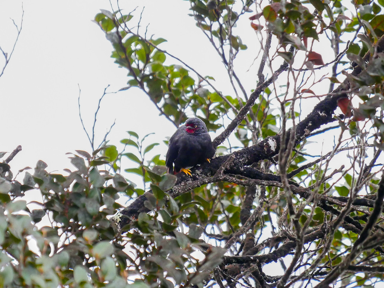 Black Sittella - a rare bird of the high mountain forests