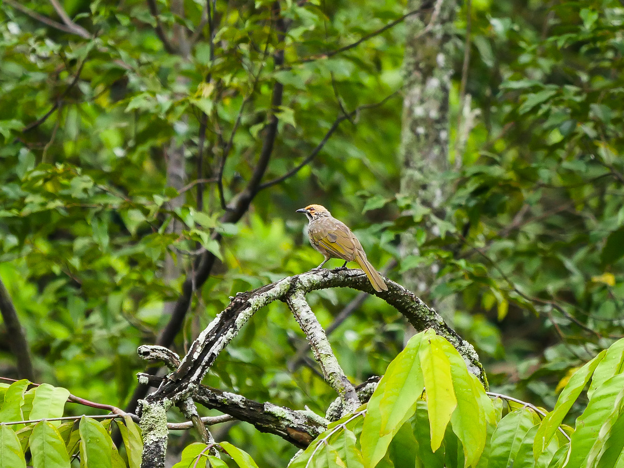 Straw-headed Bulbul - common here, rare elsewhere.