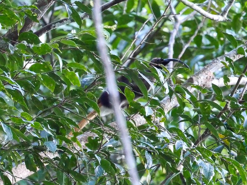Black-billed Sicklebill