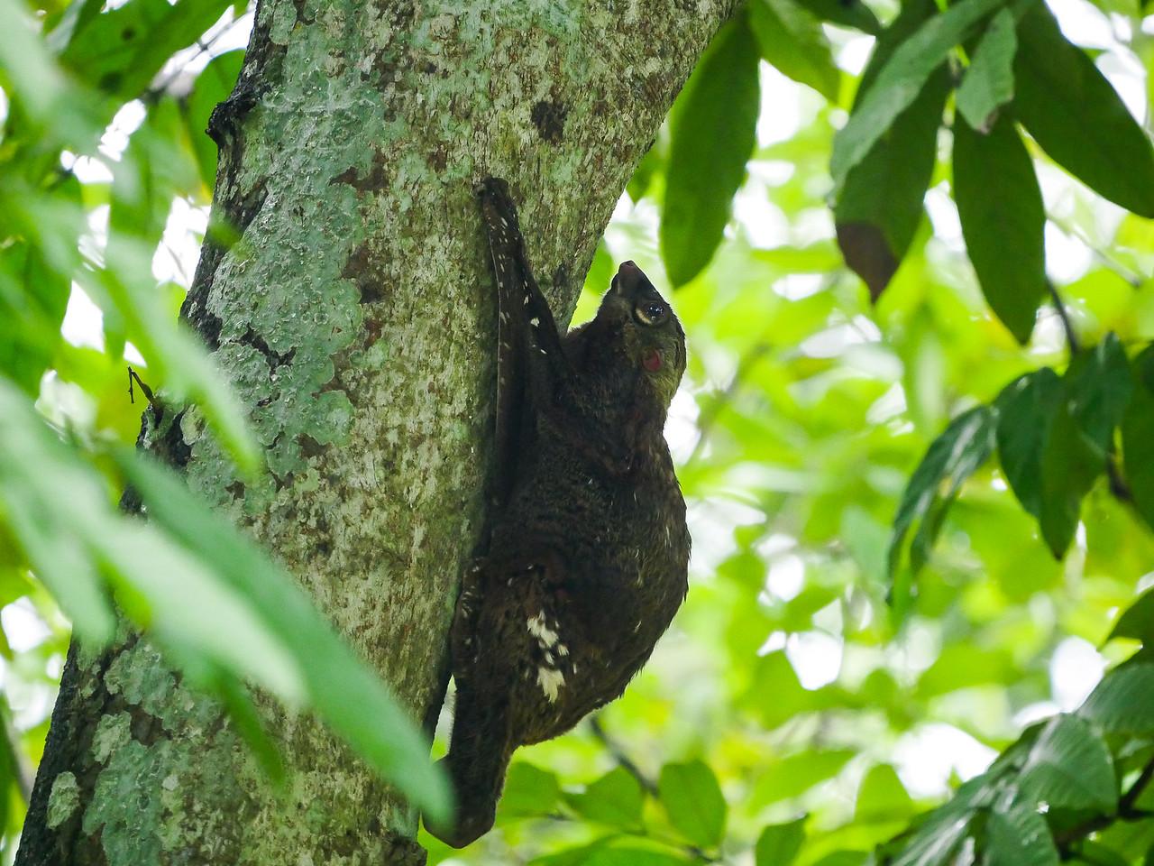 Sunda Flying Lemur or Colugu.