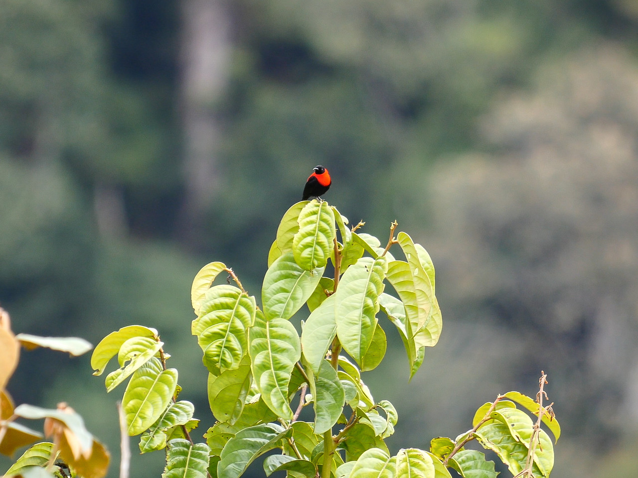 Red-collared Myzomela