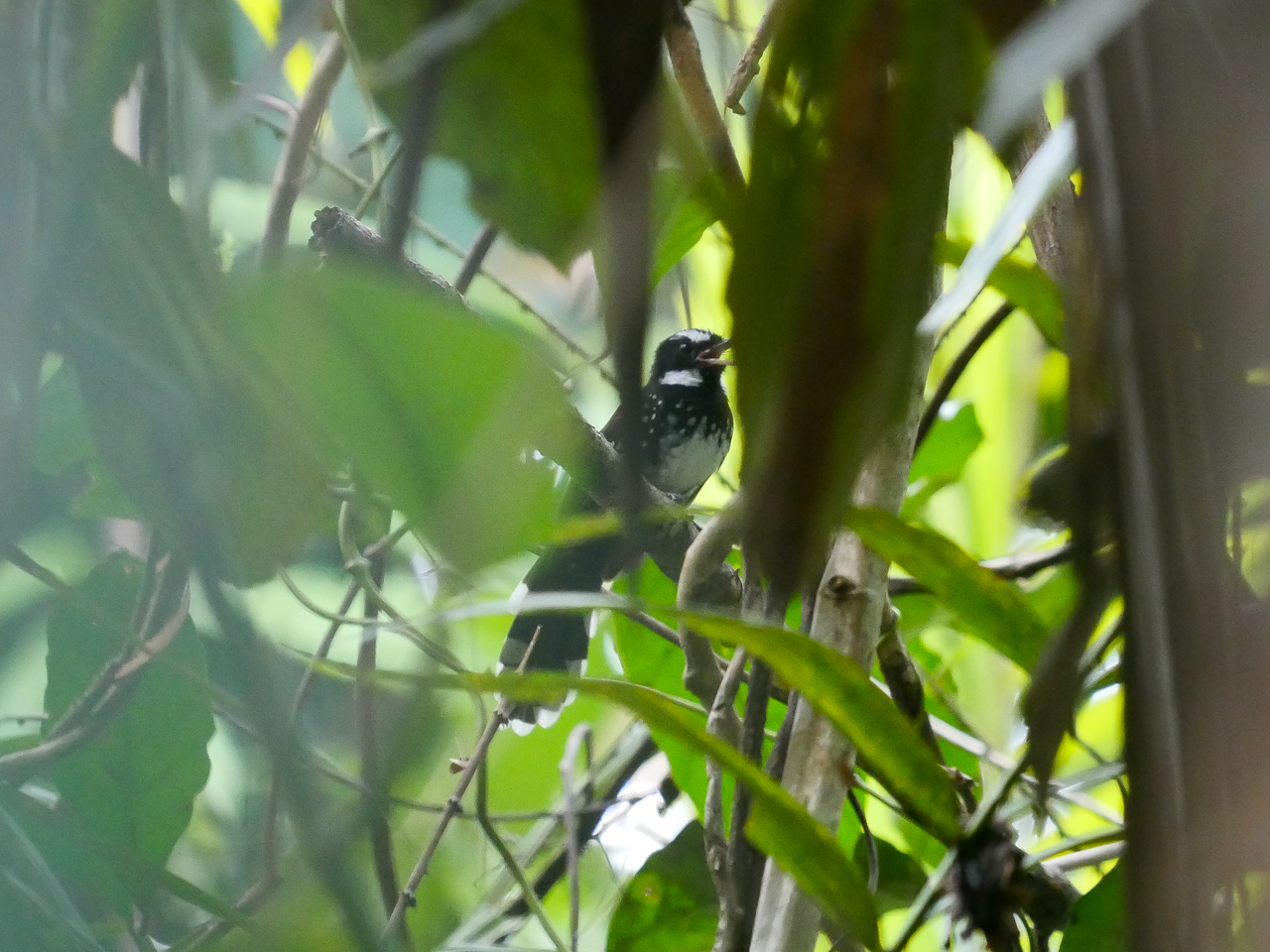 White-bellied Thicket-fantail