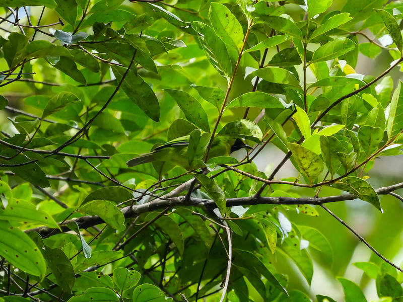 Leafbird.