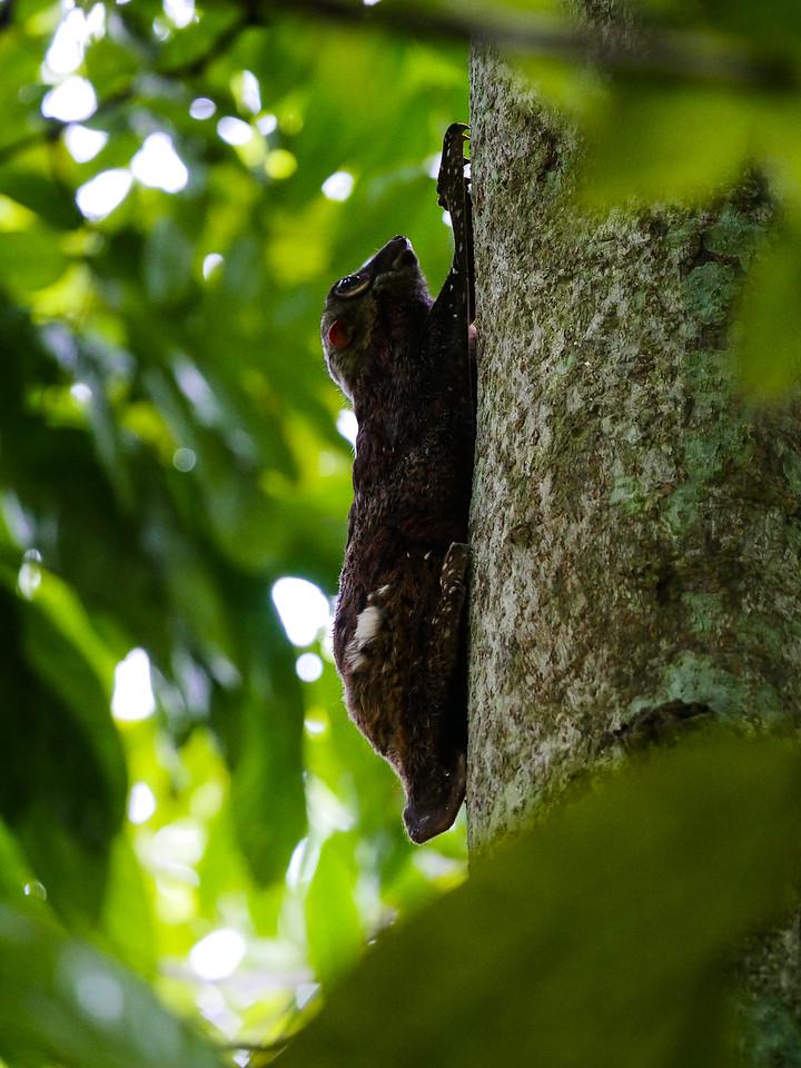Same Sunda Flying Lemur